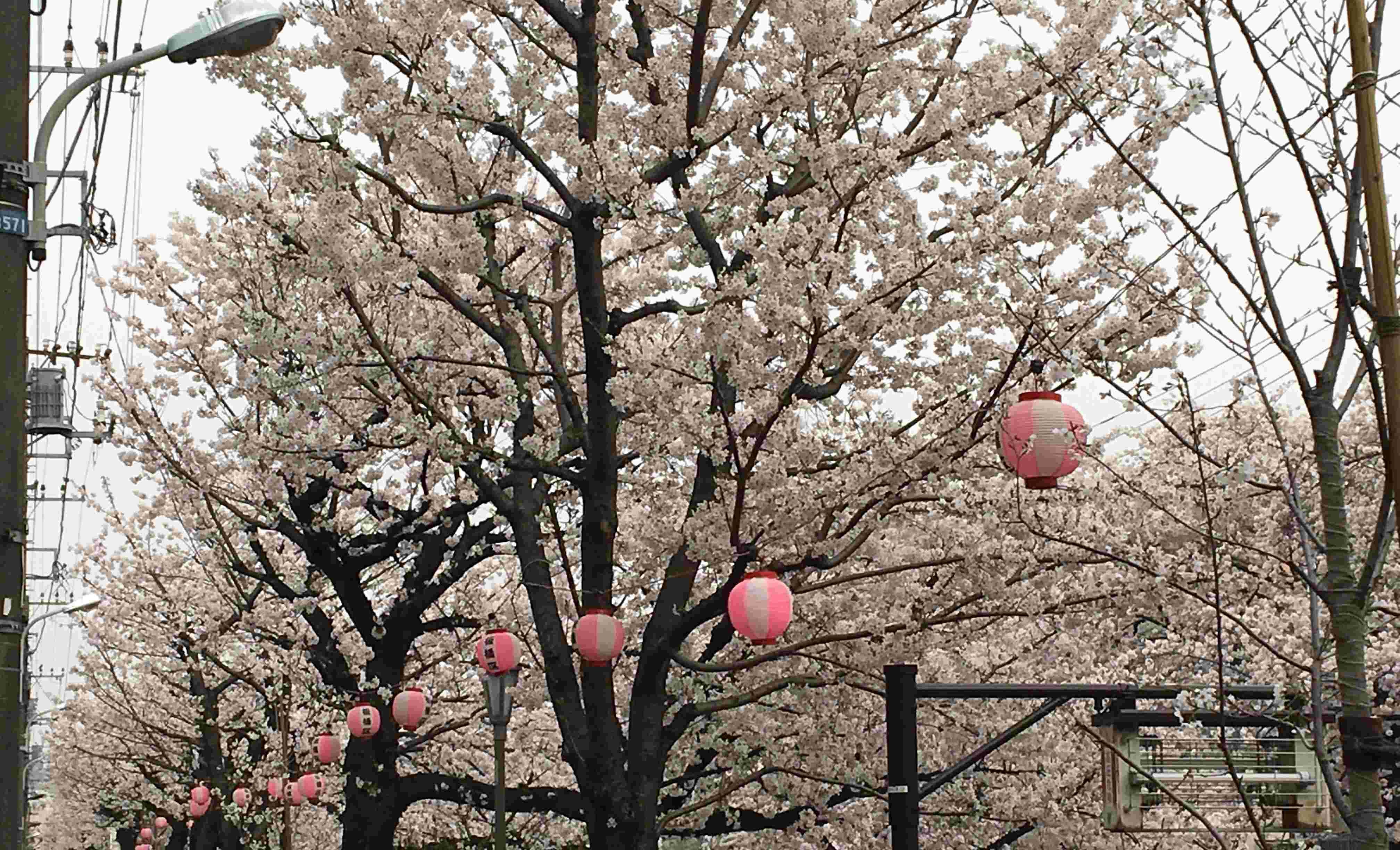 樱花又开了/一年の成長