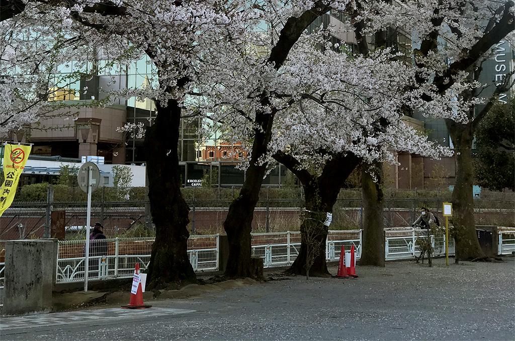 यो पालीको हानामी/今年の花見